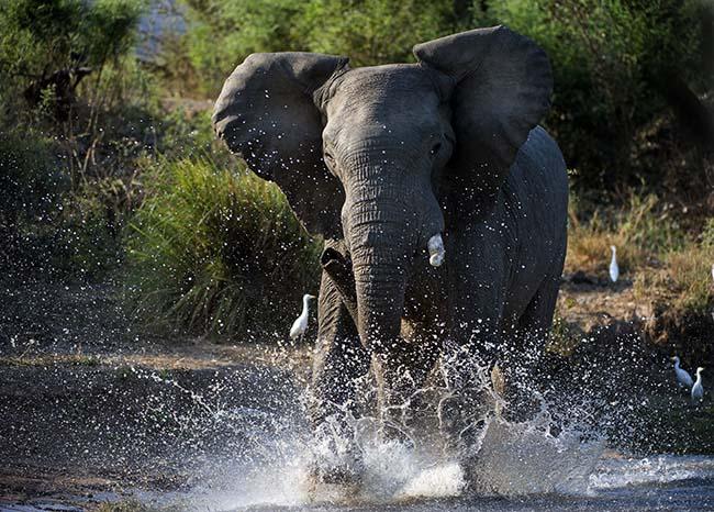 jumbo elephant running